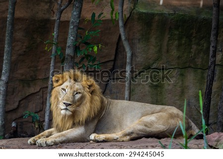 African lion resting on the ground - stock photo
