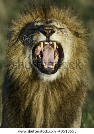 African lion roaring with open mouth - stock photo