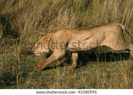 African lion stalking prey - stock photo