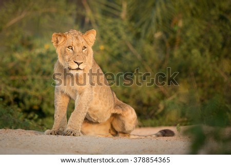 African Lion sub adult sitting in river bed in the Kruger Park South Africa - stock photo
