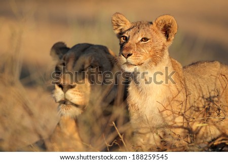 African lioness and cub (Panthera leo) relaxing in early morning light, Kalahari desert, South Africa - stock photo