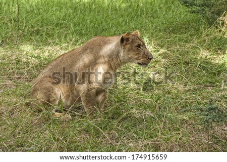African lioness focused on target while stalk her prey , Eastern  Africa - stock photo