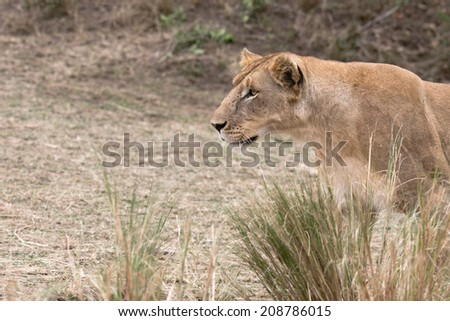 African lioness hunting , Masai Mara National Reserve, kenya - stock photo