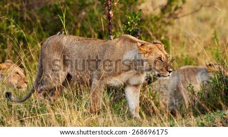 African Lioness in the Maasai Mara National Park, Kenya - stock photo