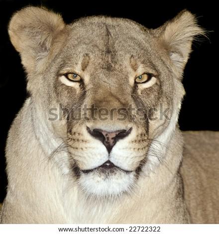 African Lioness (Panthera leo) - stock photo