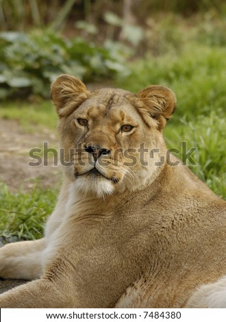 African lioness (Panthera leo krugeri) looks straight at the viewer.