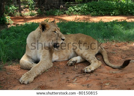 African lioness (Panthera Leo) relaxing in the shade on a dirt road near some grass. - stock photo