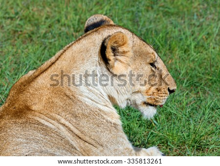 African lioness resting after the hunt - Kenya, Eastern Africa
