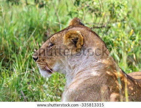 African lioness resting after the hunt - Kenya, Eastern Africa - stock photo