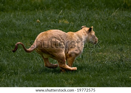 African Lioness running through green grass - stock photo