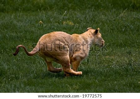 African Lioness running through green grass - stock photo