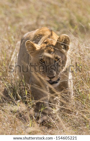 African lioness walking through savanna grasses , Masai Mara National Park, Kenya - stock photo