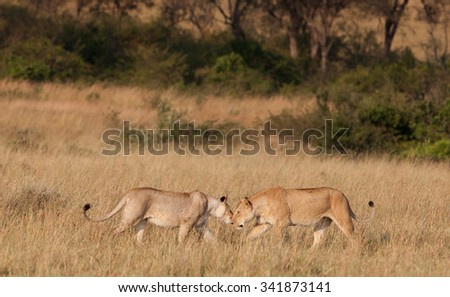 African Lionesses in the Maasai Mara National Park, Kenya - stock photo