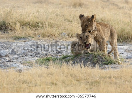 African Lions - stock photo