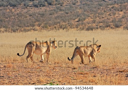 African lions hunting in Kgalagadi desert - stock photo