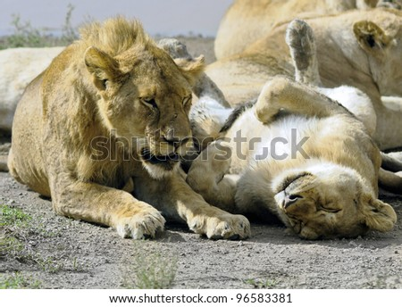 African lions near watering hole in Serengeti National Park - Tanzania - stock photo