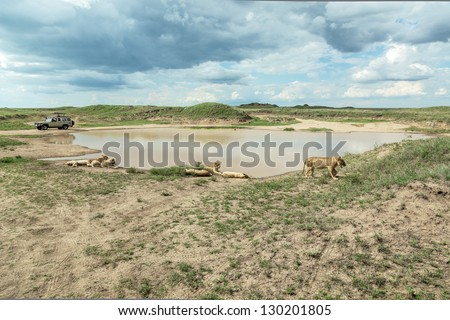 African lions near watering hole in Serengeti National Park - Tanzania, Eastern Africa - stock photo
