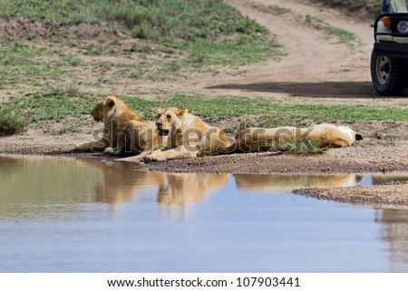 African lions near watering hole on Serengeti National Park - Tanzania - stock photo