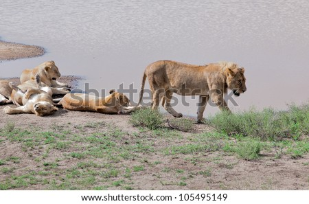 African lions near watering hole - Serengeti National Park, Tanzania - stock photo