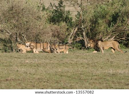African lions (Panthera leo) walking in grass. Ngorongoro Crater. Tanzania - stock photo