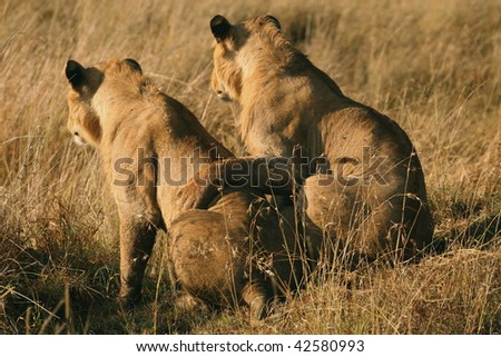 African Lions watching prey in friendship - stock photo