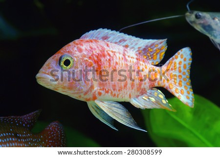 African Malawi Cichlid in aquarium. - stock photo