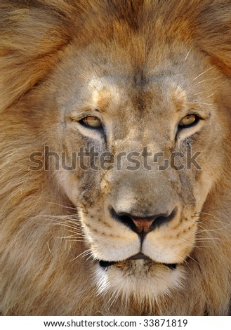 african male lion full frame 2