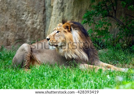 african male lion in the grass