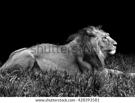 african male lion in the grass in black and white