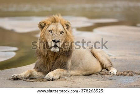 African male lion lying down in sandy river bed in the Kruger Park South Africa