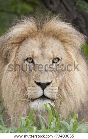 African Male Lion portrait (Panthera leo) South Africa