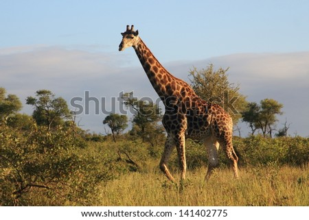 African mammal giraffe savannah and plains africa herd and household wildlife