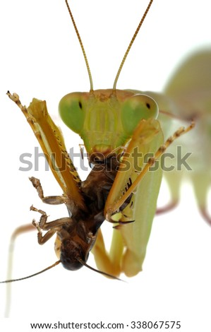 African mantis (Sphodromantis sp.) isolated on white.