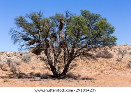 African masked weaver big nest on tree, african landscape, Kgalagadi Transfrontier Park, South, Africa, true wildlife