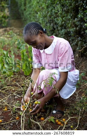 African middle-aged woman, dressed as a domestic worker, picking tomatoes in a garden. - stock photo