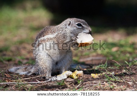 African mountain  ground squirrel eating a sandwich - stock photo