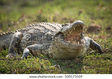 African Nile Crocodile sunning on the banks of the Chobe River.