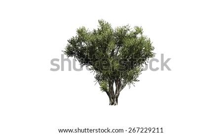African Olive shrub - isolated on white background - stock photo