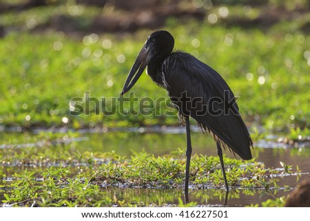 African open-billed stork fishing for mussels in shallow pond - stock photo