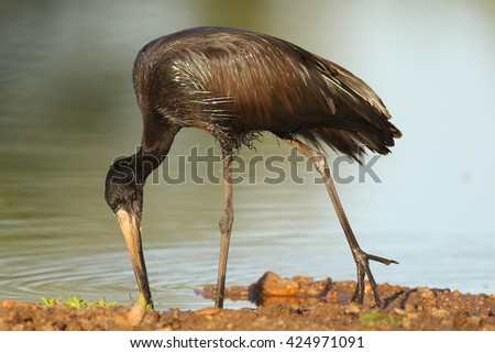African open-billed stork hunting for mussels in shallow river - stock photo
