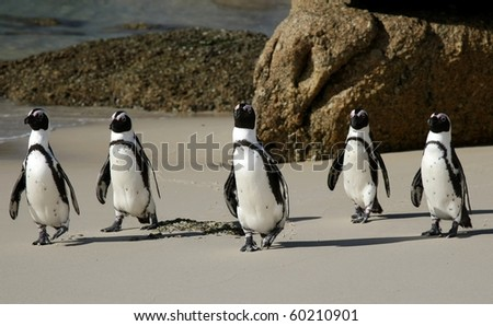 African or Jackass penguins crossing a sandy beach - stock photo