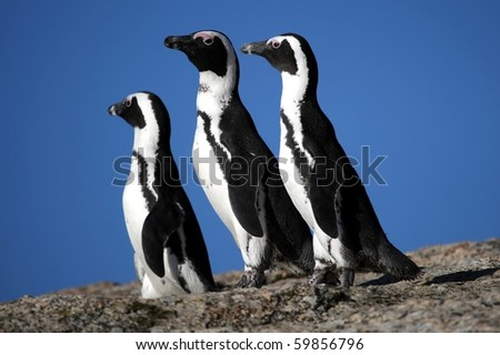 African or Jackass penguins standing on a rock - stock photo