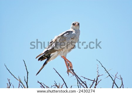 African Osprey - Pandion haliaetus - stock photo