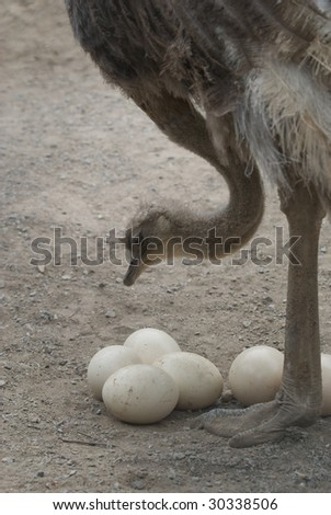 African ostrich taking care of eggs - Struthio Camelus - stock photo