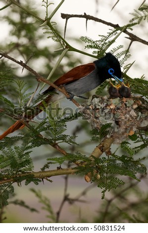 african paradise flycatcher feeding young - stock photo