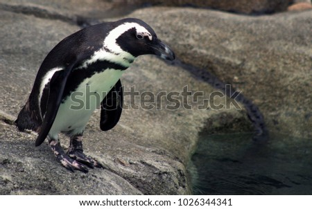 African Penguin at the Zoo