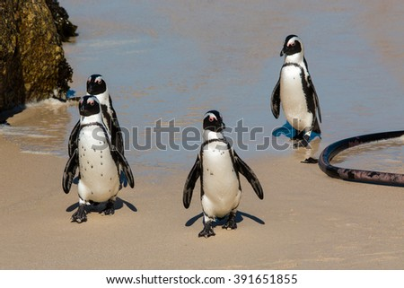 african penguin colony boder town beach head south africa - stock photo