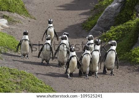 African Penguin group walking - stock photo