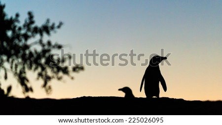 African penguin in twilights. African Penguin (spheniscus demersus) , National Park, Boulders, South Africa   - stock photo