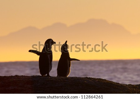African penguin pair at sunset near Cape Town, South Africa - stock photo